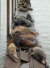 Sea Lions in Astoria OR